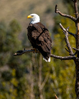 717 Smith Rock Bald Eagle 2016