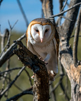 732 Barn Owl Pearched