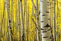 805 Eyes of the Aspen Forest