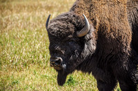 Bison Staredown by Wildlife Photographer William Dziuk