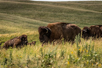 North Dakota Roaming Bison