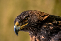 Female Golden Eagle by Wildlife Photographer William Dziuk
