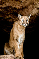 704 Mountain Lion (Cougar)