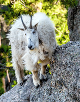 707 Mountain Goat
